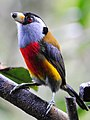 Semnornis ramphastinus -Mindo, Ecuador-8 (5).jpg