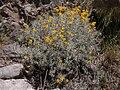 Senecio chilensis DSCN0548.jpg