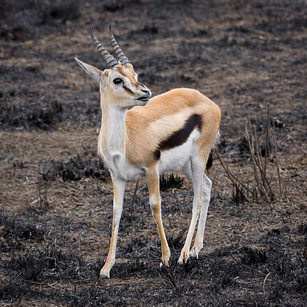 Close view of a Thomson's gazelle: Note the facial markings and the lateral stripe. Serengeti Thomson-Gazelle3.jpg