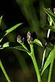 Serratula tinctortia PID1346-1.jpg