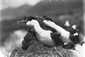 Shags defending nest, Macquarie Island - photograph by Harold Hamilton (2962763955).jpg