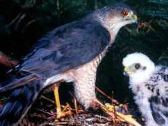 Sharp-shinned hawk - With a chick (nominate group)