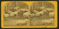 Sheep & lambs, by Kilburn Brothers 5.png