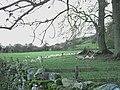 Sheltering Sheep - geograph.org.uk - 287679.jpg