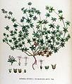 Sherardia arvensis — Flora Batava — Volume v17.jpg