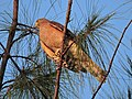 Shikra, City bird sanctuary, Chandigarh,India.JPG
