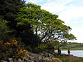 Shoreline Oak - geograph.org.uk - 1305525.jpg