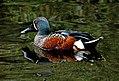 Shoveler Duck NZ (8174423529).jpg