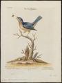 Sialia wilsonii - 1700-1880 - Print - Iconographia Zoologica - Special Collections University of Amsterdam - UBA01 IZ16200378.tif