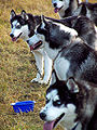 Siberian Huskies line.jpg