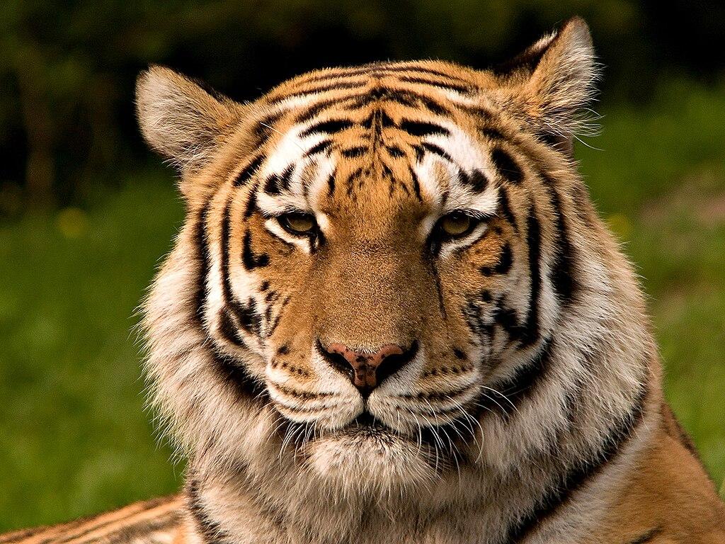 Macan, Peribasan Jawi-Jowo, Peribahasa dalam bahasa Jawa