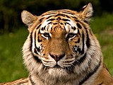 Siberischer tiger de edit02.jpg