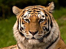 Picture of the  Siberian Tiger (head only).