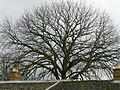 Sibford Gower, ancient tree off Temple Mill Road - geograph.org.uk - 801231.jpg