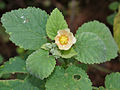 Sida cordifolia (Bala) in Hyderabad, AP W2 IMG 9420.jpg