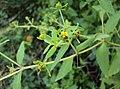 Sigesbeckia orientalis 01.JPG