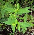 Sigesbeckia orientalis 14.JPG