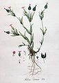 Silene conica — Flora Batava — Volume v4.jpg