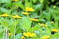 Singapore Daisy - Wedelia trilobata, Sphagneticola trilobata (ASTERACEAE) (37533703362).jpg