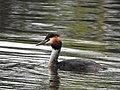 Skäggdopping Great Crested Grebe (19728545164).jpg