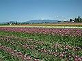 Skagit Valley Tulip Festival 2006 (10).jpg