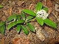 Skimmia japonica var. intermedia f. repens 1.JPG