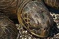 Sleeping Sea Turtle (6519188387).jpg