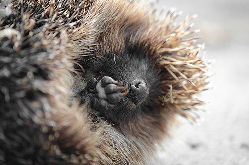 Sleeping beauty of a Hedgehog.jpg