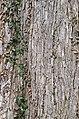 Slippery Elm Ulmus rubra Bark Vertical.JPG