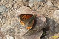 Small copper (NH) (11204040995).jpg