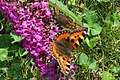 Small tortoiseshell and Wall brown (NH) (8141180599).jpg