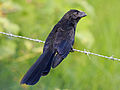 Smooth-billed Ani RWD1.jpg