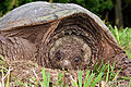 Snapping turtle 3 md.jpg
