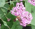 Snowberry Clearwing 6.jpg