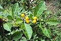 Solanum diphyllum 01.JPG