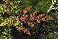 Sorbaria sorbifolia D.jpg