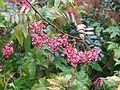 Sorbus seedling - Flickr - peganum (1).jpg