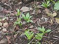 South Indian Squill (4695264099).jpg