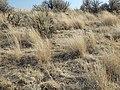 South of Marsing sagebrush steppe (I.O.N. cutoff) (9674219321).jpg