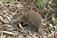 Southern Brown Bandicoot (Isoodon obesulus) 1, Vic, jjron, 09.01.2013.jpg