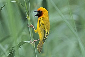 Southern brown-throated weaver (Ploceus xanthopterus castaneigula) male.jpg
