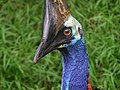 Southern cassowary.jpg