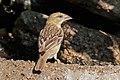 Southern masked weaver (Ploceus velatus) female.jpg
