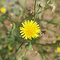 Sow thistle - Sonchus sp. (Asteraceae).jpg