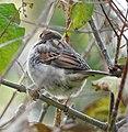 Sparrow (30394607465).jpg
