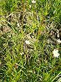 Spergula arvensis3pl.jpg