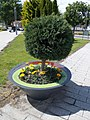 Spherical tree in flowerpot Szent István Square, 2020 Százhalombatta.jpg