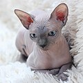 Sphynx - studio portrait photographs of cats.jpg