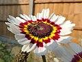 Spider hiding on a flower, Sandy, Bedfordshire (9208815877).jpg
