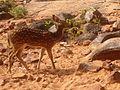 Spotted Deer axisaxis at deerpark Tirumala hills.JPG
